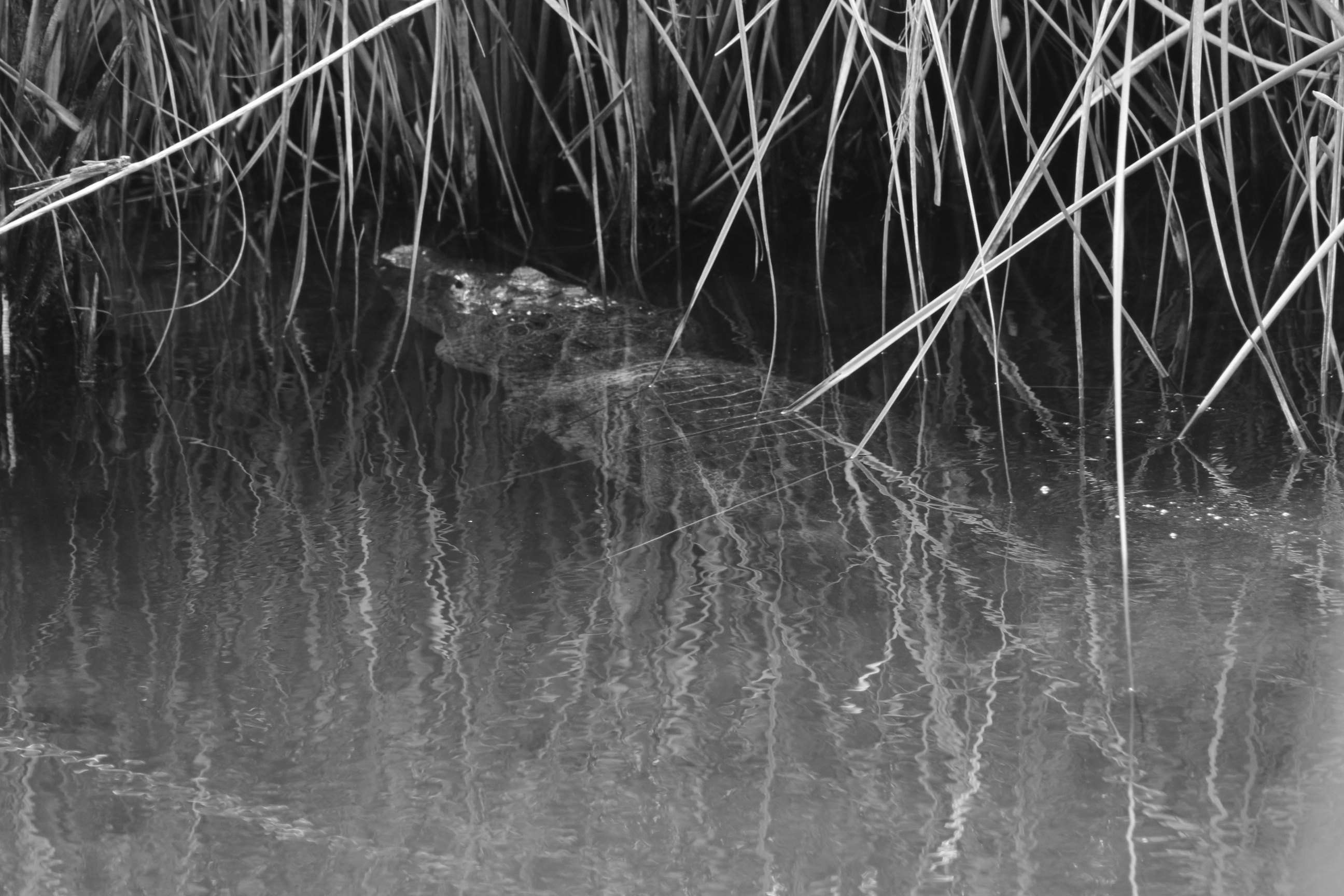 Crocodile Les ruines mayas de Cobà Mexique Voyage